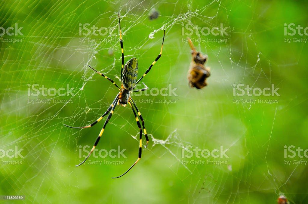 Spider, Nephila clavata royalty-free stock photo