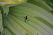 spider on a variegated hosta leaf