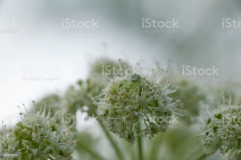 spider on a umbelliferous plant stock photo