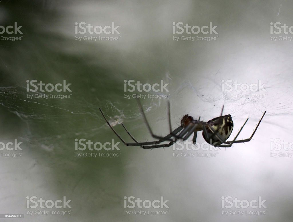 Spider on a web royalty-free stock photo