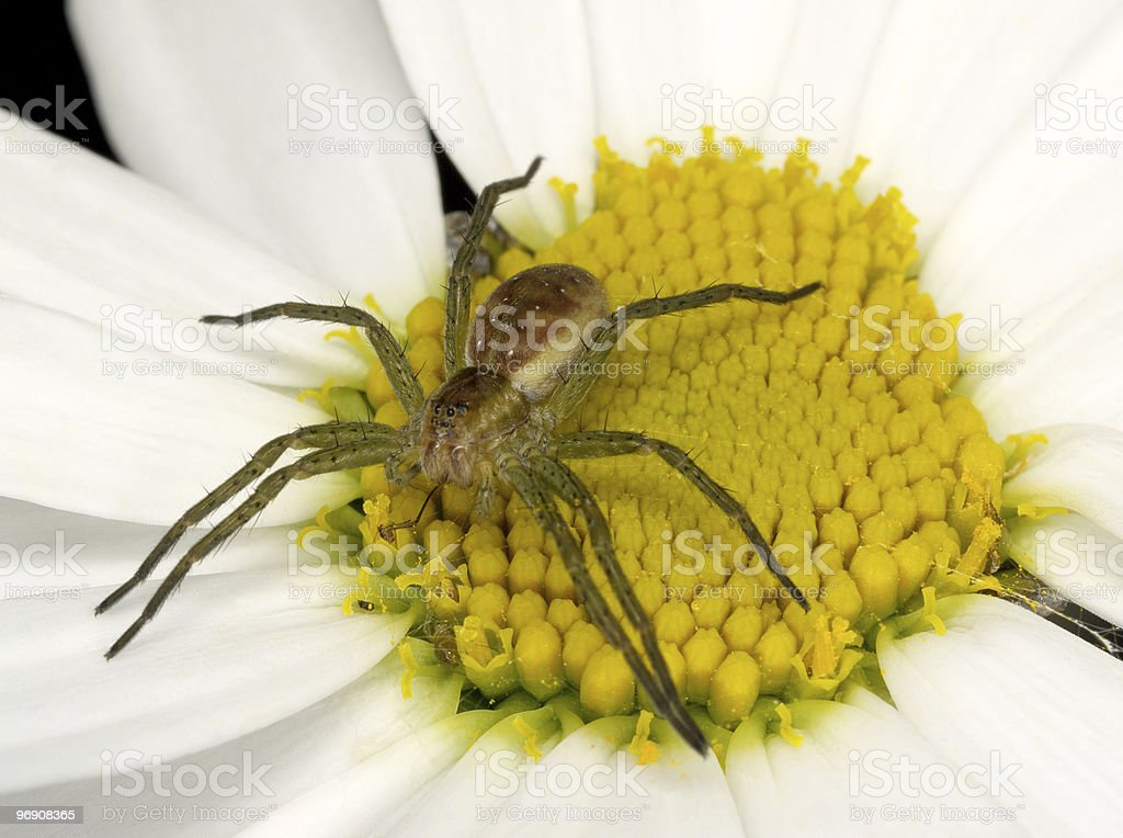 Spider on flower royalty-free stock photo