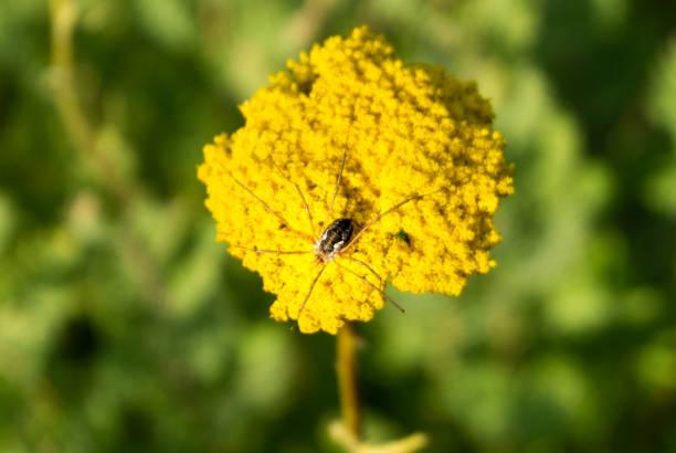 Spider on golden yarrow picture id1282200515?b=1&k=6&m=1282200515&s=612x612&w=0&h=fvjnelafp31tkor6px9yibs38yzskzcflnajo 1ysla=