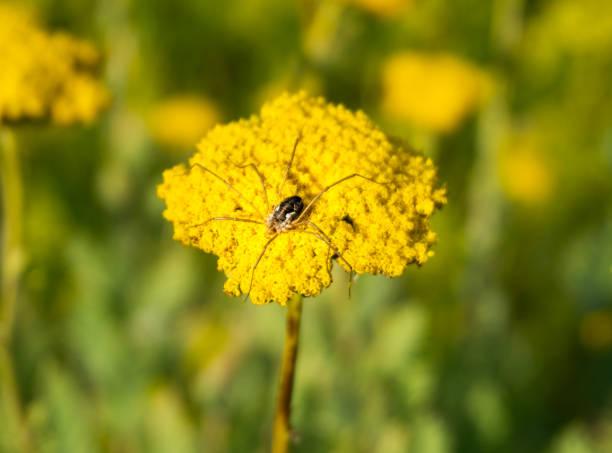 Spider on golden yarrow picture id1282200653?b=1&k=6&m=1282200653&s=612x612&w=0&h=oh5vx0mt9potzgmjswgyuabcmxuwbnzeimvhifgq4zi=