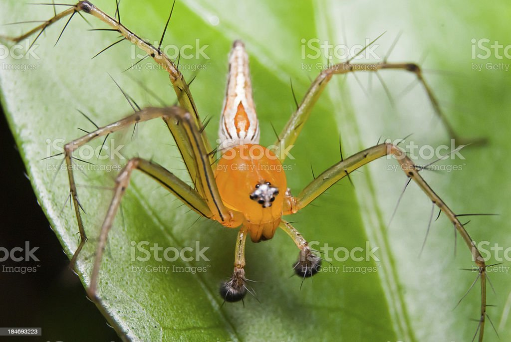 Spider on leaf royalty-free stock photo