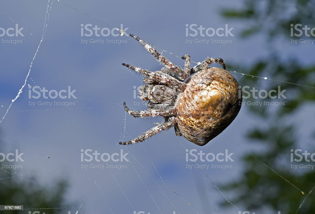 Spider on spider-web royalty-free stock photo