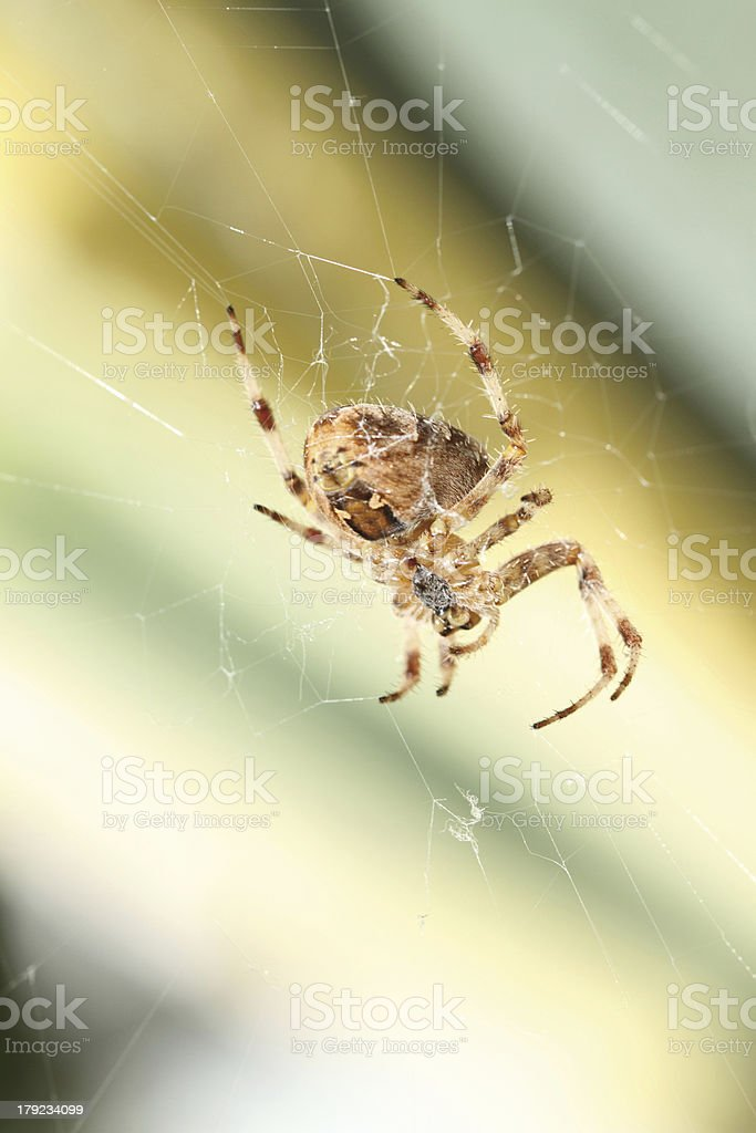 spider on web royalty-free stock photo