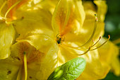 spider on yellow azalea flower close up