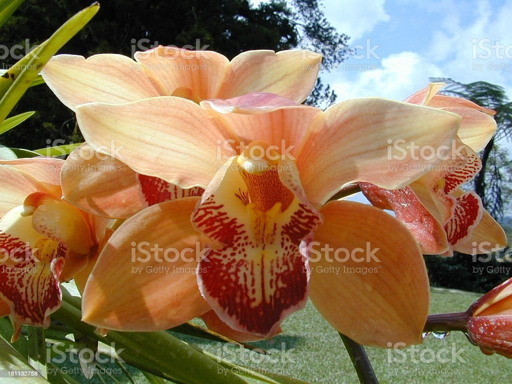Spider Orchid royalty-free stock photo