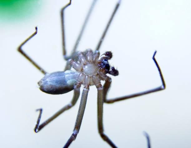 spider - ragno violino foto e immagini stock