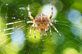 Spider with a cross on its back.