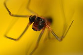 Photography of a spider in yellow background.