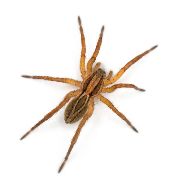 araignée, pirata piraticus, en face de fond blanc - araignée photos et images de collection