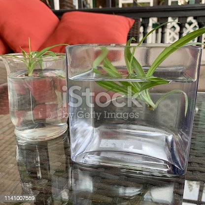Spender plant cuttings in water.  iPhone