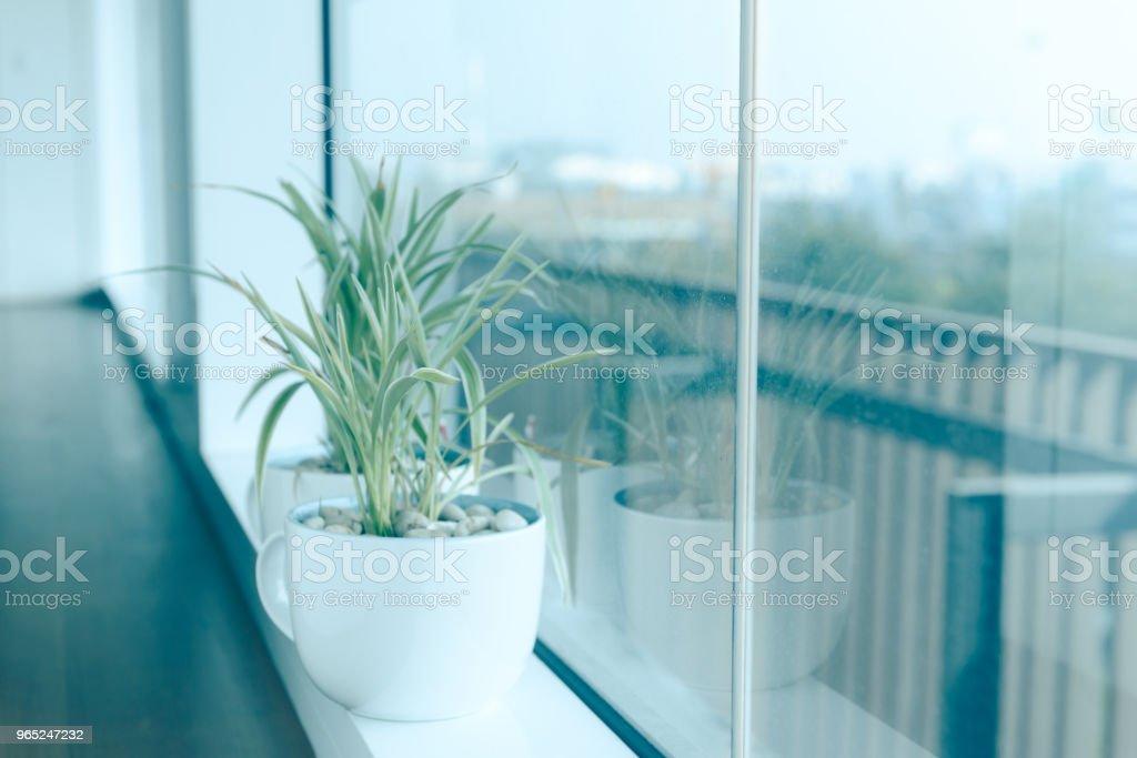 Spider Plant (Chlorophytum) in white ceramic flowerpot standing on windowsill - relax time royalty-free stock photo
