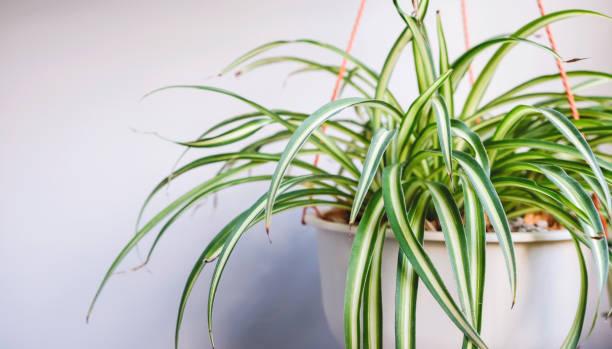 Spinnenpflanze im weißen Topf auf Balkon – Foto