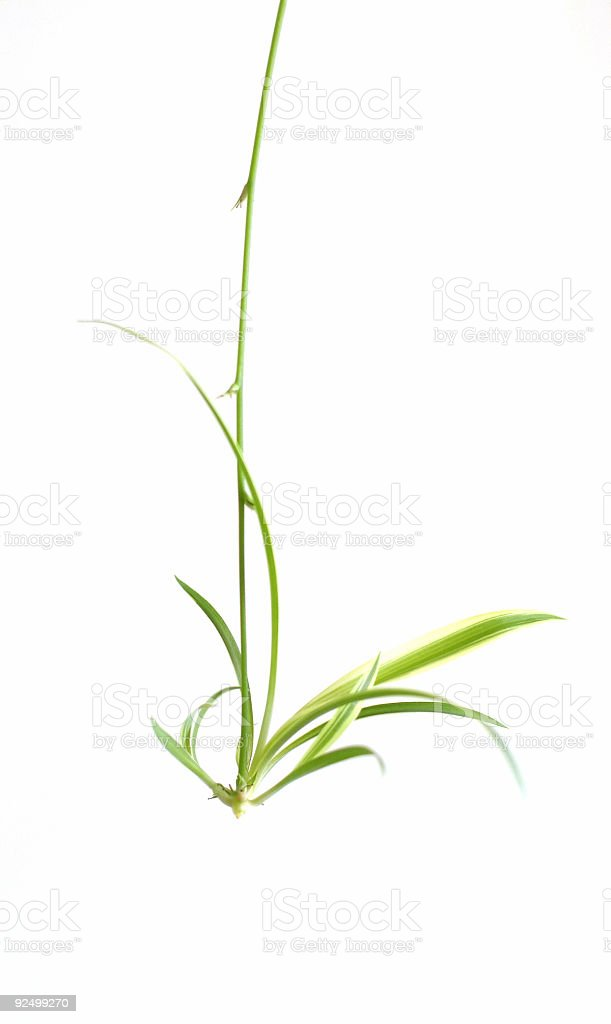 Spider Plant Shoot royalty-free stock photo