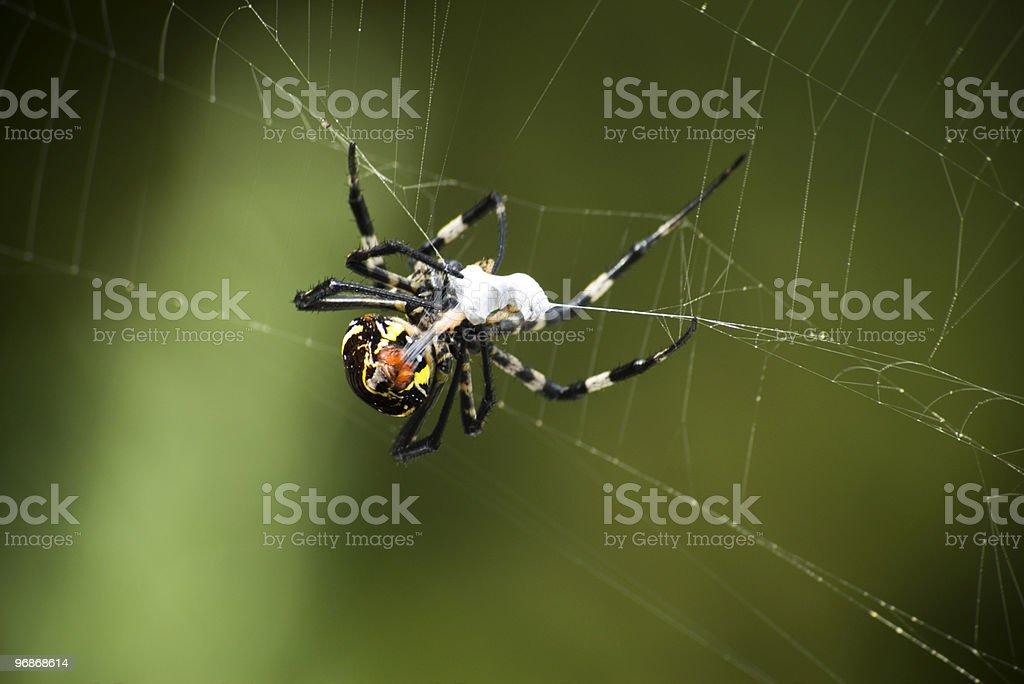 Spider Prey royalty-free stock photo