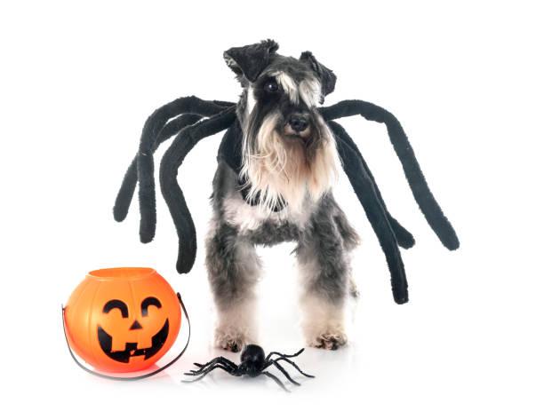 spinnenschnauzer - hund spinnenkostüm stock-fotos und bilder