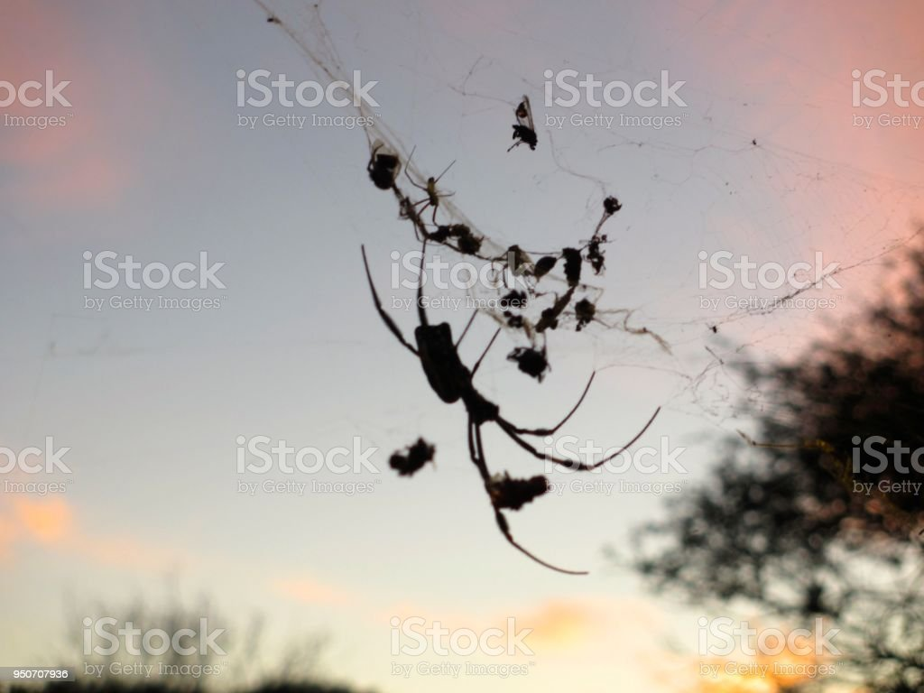 Spider Silhouette at Sunset stock photo