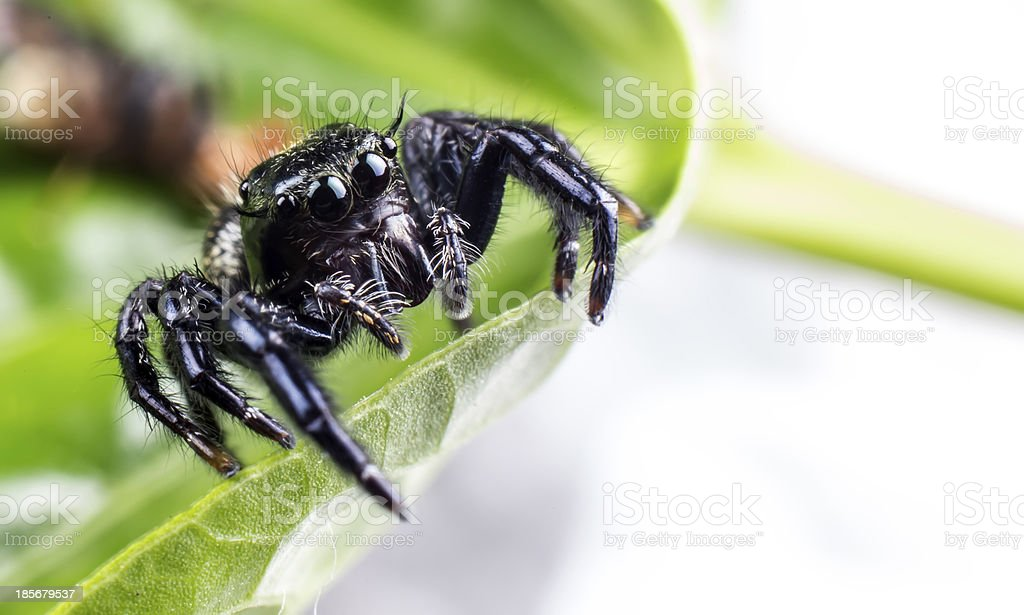 spider species hyllus royalty-free stock photo