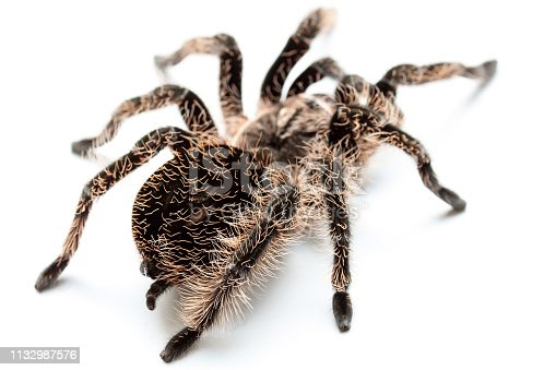spider tarantula on a white background. Dangerous insect