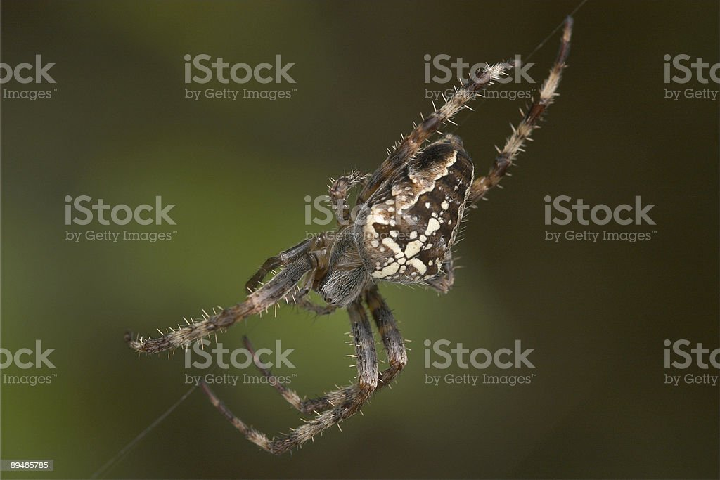 Spider waiting for prey royalty-free stock photo