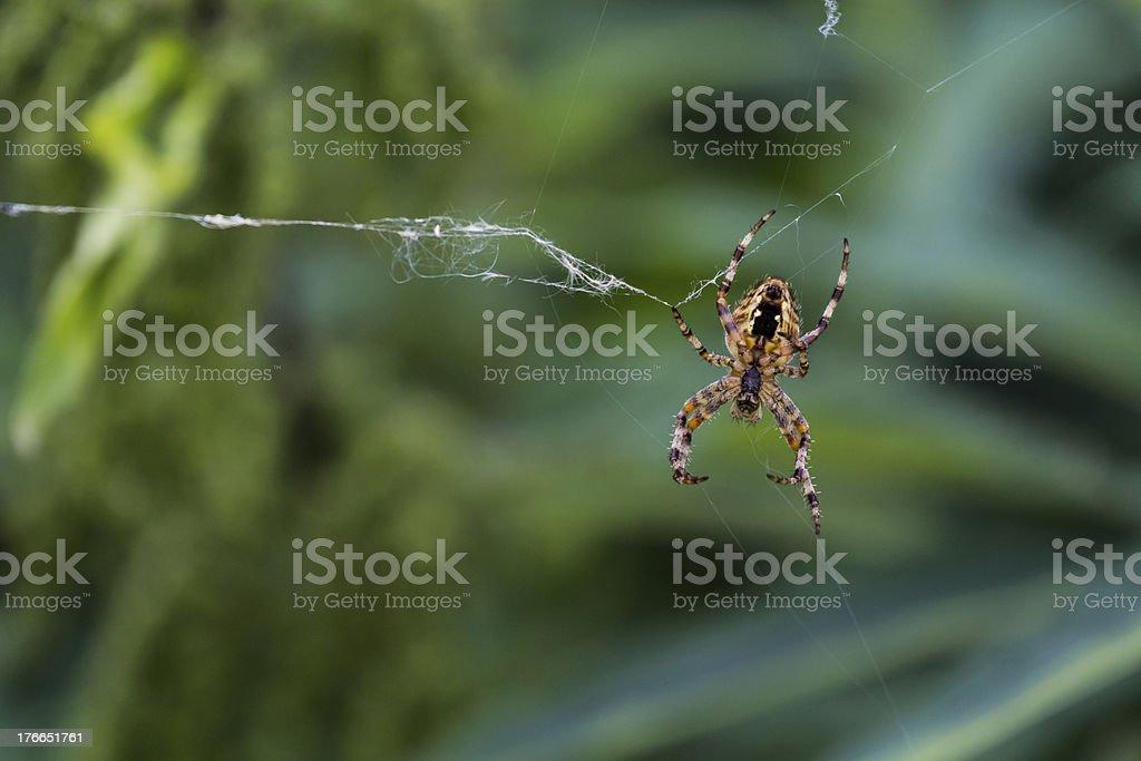 Spider waiting on his web foto de stock libre de derechos