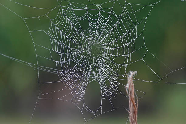 Spider web covered with dew A spider web covered with early morning dew on a fence line ensnare stock pictures, royalty-free photos & images