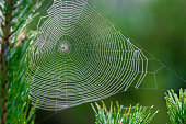istock A spider web in a pine tree during dawn with early morning dew 1272245660