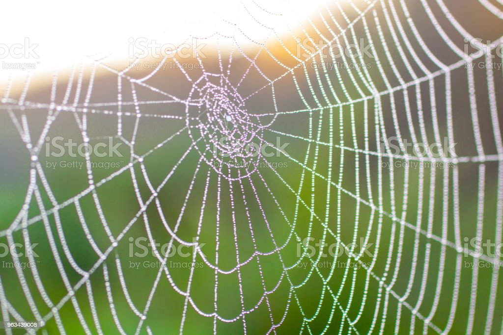 spider web with water droplets macro, in sunlight, in summer, green background - Zbiór zdjęć royalty-free (Bez ludzi)