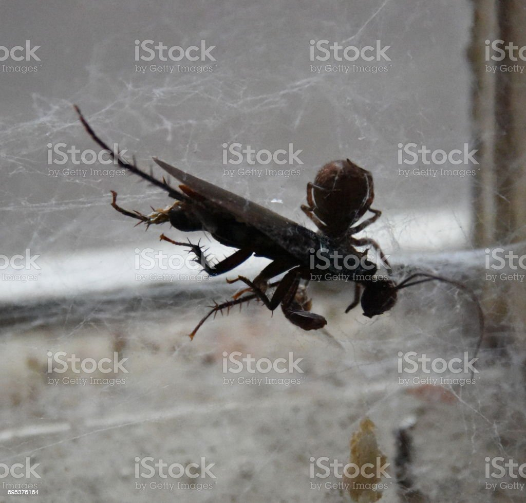 Spider with cockroach stock photo