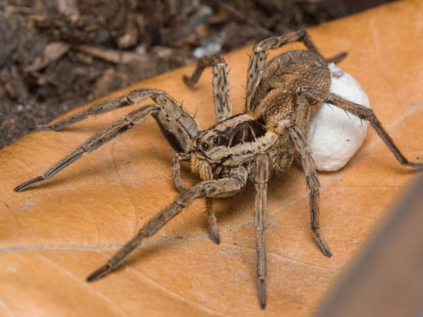 Aranha com eggsack - foto de acervo