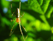 A spider with long legs and hair weaves a web and waits for prey in the tropics. Arthropod insects in the jungle. Dangerous spiders in nature.