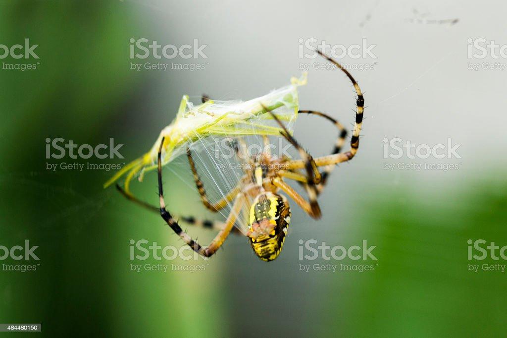 Spider Wrapping Grasshopper in Spider Silk. stock photo