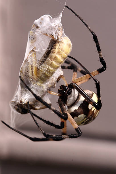Spider Wrapping Prey in Web stock photo