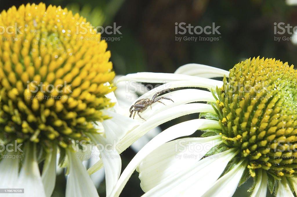 Araña xysticus cristatus en jugo de flores foto de stock libre de derechos