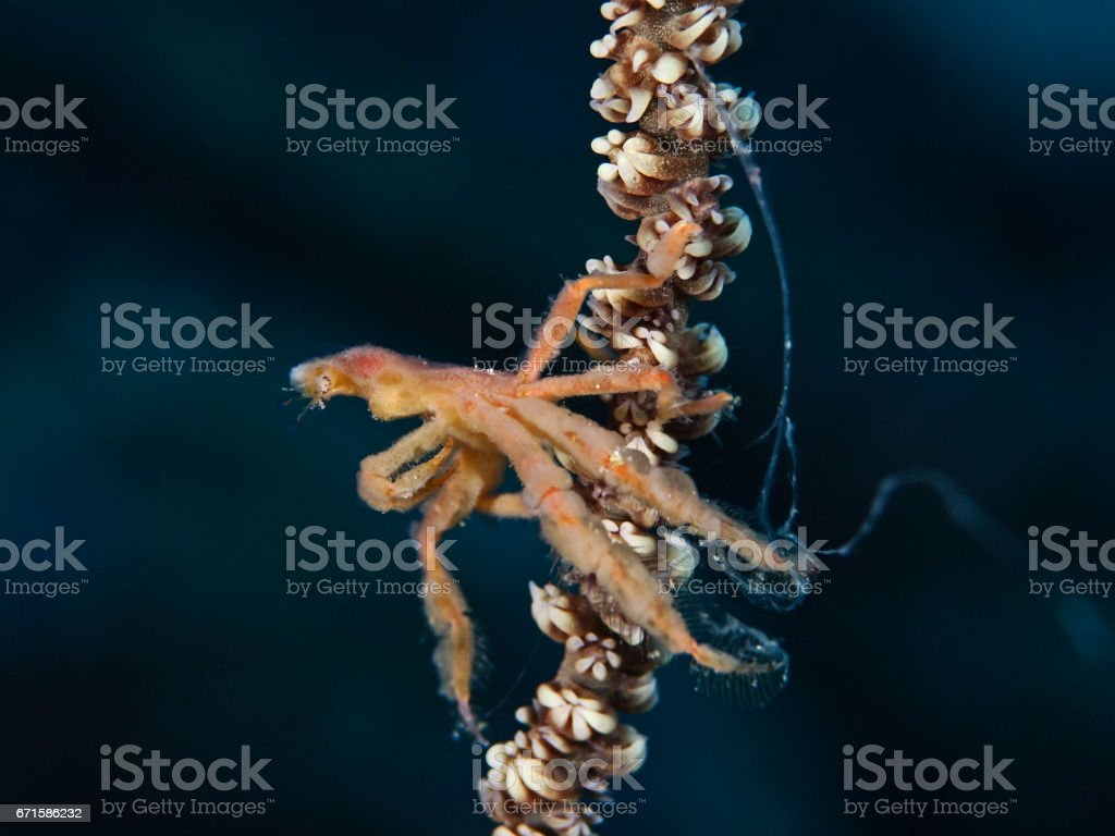 Spidercrab, Gespensterkrabbe (Oncinopus sp2) stock photo