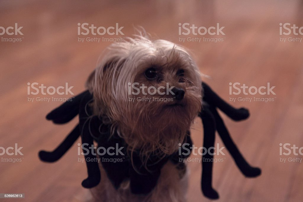 Spiderdog 1 year old yorkie dressed as spider for halloween Costume Stock Photo