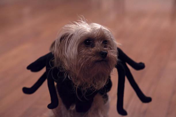 spiderdog - hund spinnenkostüm stock-fotos und bilder