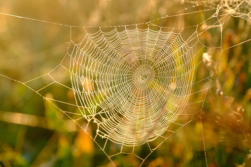 Spider's web closeup with drops of dew at dawn. Wet grass before sun raise. Spider web with droplets of water. Natural background.