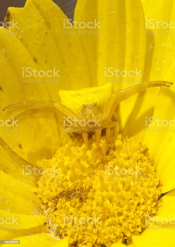 Spider,Thomisus onustus, camouflge on flower stock photo