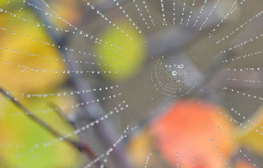 Spiderweb closeup and dew drops in forest