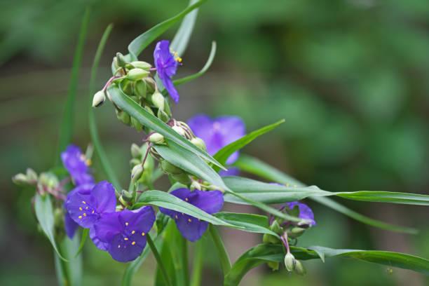 Spiderwort – Foto