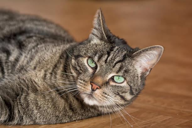 spielende hauskatze - grau getigerte katzen stock-fotos und bilder