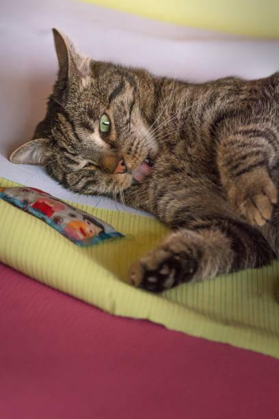 spielende chipmunk  - grau getigerte katzen stock-fotos und bilder