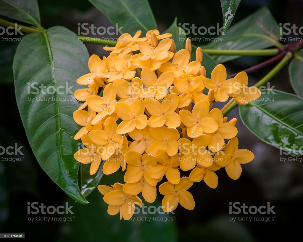 spike flower,Thailand stock photo