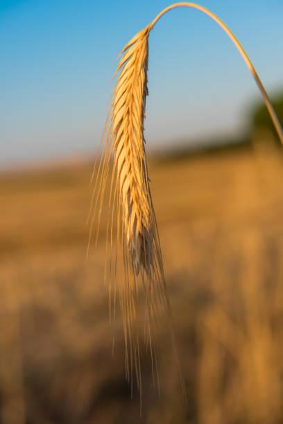 spike en el campo, día de verano. - monse del campo fotografías e imágenes de stock