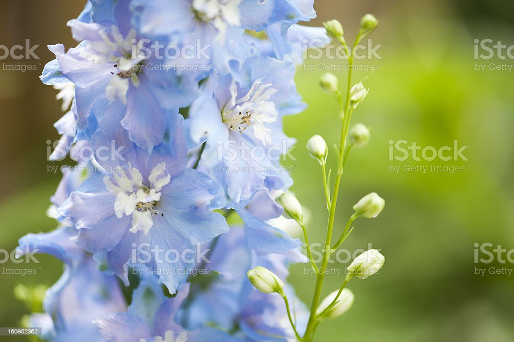 Spike of Blue Delphiniums stock photo
