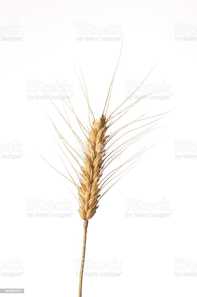 spike of corn royalty-free stock photo