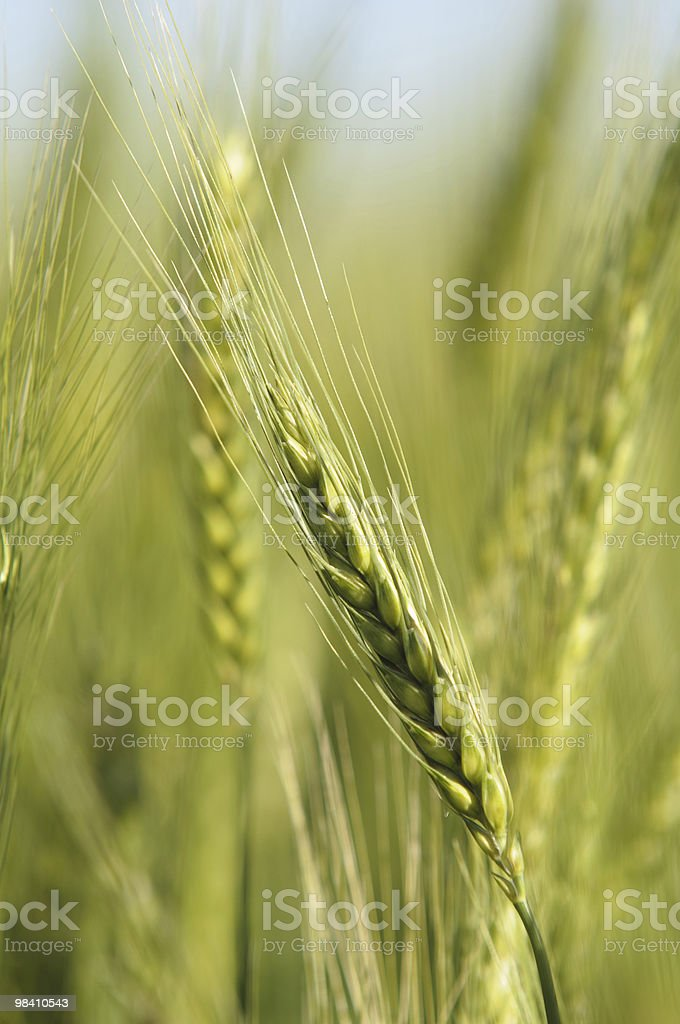 Espiga Wheat royalty-free stock photo